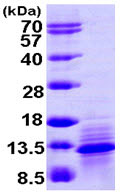 SDS-PAGE - I-309 protein (ab104828)