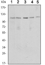 Western blot - SIRT1 antibody [1F3] (ab104833)