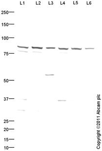 Western blot - Anti-PRMT7 antibody (ab104845)