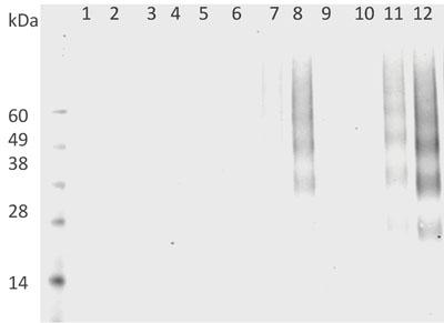 Western blot - DMPO Nitrone Adduct antibody [N1664A] (ab104902)