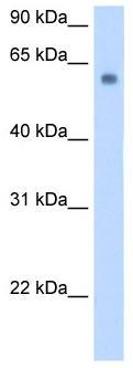 Western blot - SLC1A4 antibody (ab104921)