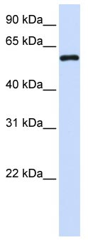 Western blot - MTX1 antibody (ab104966)