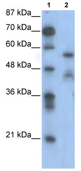 Western blot - NFIA antibody (ab104967)
