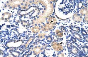 Immunohistochemistry (Formalin/PFA-fixed paraffin-embedded sections)-Anti-EMG1 antibody(ab104985)