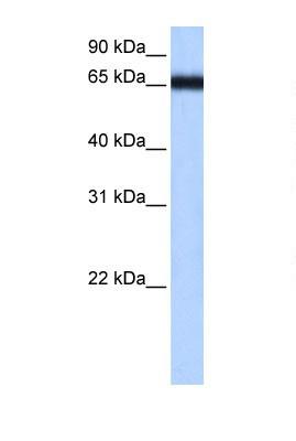 Western blot - ZNF14 antibody (ab105004)
