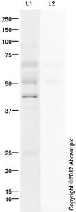 Western blot - Anti-SIRT7 antibody (ab105038)