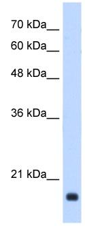 Western blot - GADD45B antibody (ab105060)