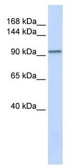 Western blot - PAM antibody - N-terminal (ab105069)