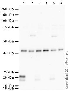 Western blot - Anti-APE1 antibody (ab105081)