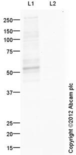 Western blot - Anti-HSF1 (phospho S303) antibody (ab105084)