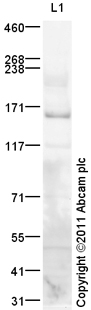 Western blot - Anti-ROCK1 antibody (ab105107)