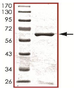 Western blot - CKII alpha prime polypeptide protein (ab105125)