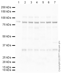 Western blot - Anti-Daxx antibody (ab105173)