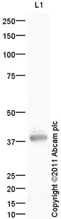 Western blot - Anti-DEK antibody (ab105175)