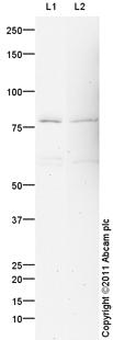 Western blot - Anti-PIAS3 antibody (ab105178)