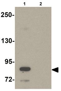 Western blot - STOX2 antibody (ab105203)