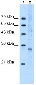 Western blot - FOXI3 antibody (ab105321)