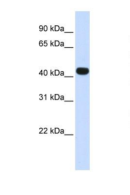 Western blot - HS3ST3B1 antibody (ab105322)