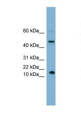 Western blot - INSL5 antibody (ab105325)