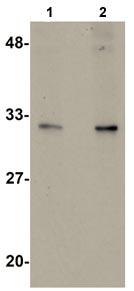 Western blot - ABH2 antibody (ab105340)