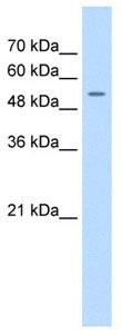 Western blot - FJX1 antibody (ab105373)