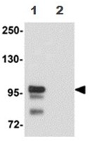 Western blot - SCUBE2 antibody (ab105378)