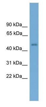 Western blot - FOXD4 antibody (ab105386)