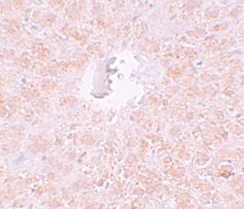Immunocytochemistry - Anti-PIWIL1 antibody (ab105393)