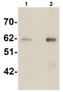 Western blot - Staufen antibody (ab105398)
