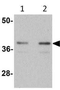Western blot - SLC39A1 antibody (ab105416)