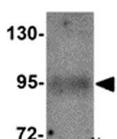 Western blot - EFCAB4B antibody (ab105418)