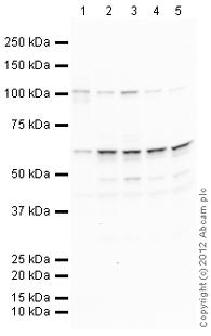 Western blot - Anti-Smad2 antibody (ab105443)