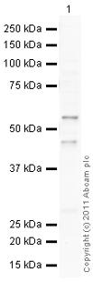 Western blot - Anti-APLF antibody (ab105446)