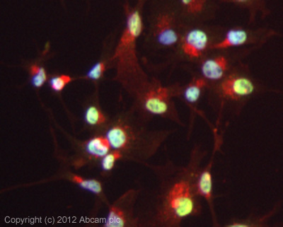 Immunocytochemistry/ Immunofluorescence - Anti-INO80 antibody (ab105451)