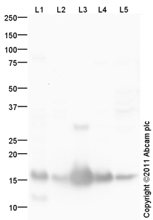 Western blot - Anti-DNA Polymerase epsilon antibody (ab105454)