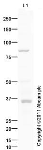 Western blot - Anti-HOX11 antibody (ab105496)