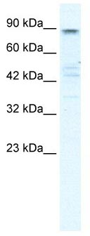 Western blot - KCNQ2 antibody (ab105511)