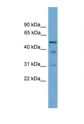 Western blot - TINAG antibody (ab105512)