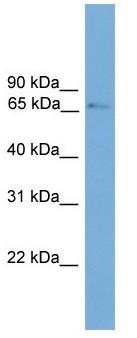 Western blot - PROX2 antibody (ab105533)