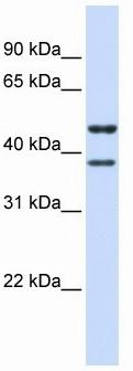 Western blot - TMEM135 antibody (ab105537)