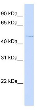 Western blot - C16orf58 antibody - N-terminal (ab105547)