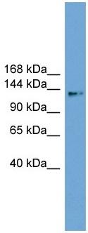 Western blot - CCDC146 antibody (ab105551)