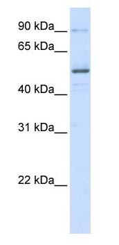 Western blot - ZNF275 antibody (ab105570)
