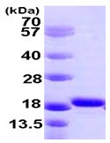 SDS-PAGE - Iba1 protein (ab105593)