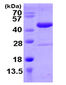 SDS-PAGE - SPOP protein (ab105599)