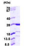 SDS-PAGE - CAPSL protein (ab105600)