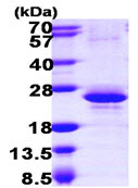 SDS-PAGE - Y14 protein (ab105606)