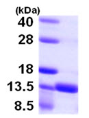 SDS-PAGE - S100A16 protein (ab105607)