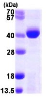 SDS-PAGE - ALKBH3 protein (ab105620)