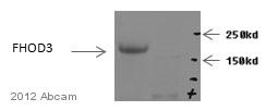 Western blot - Anti-FHOD3 antibody (ab105651)